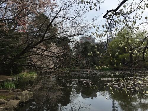 道庁、桜2