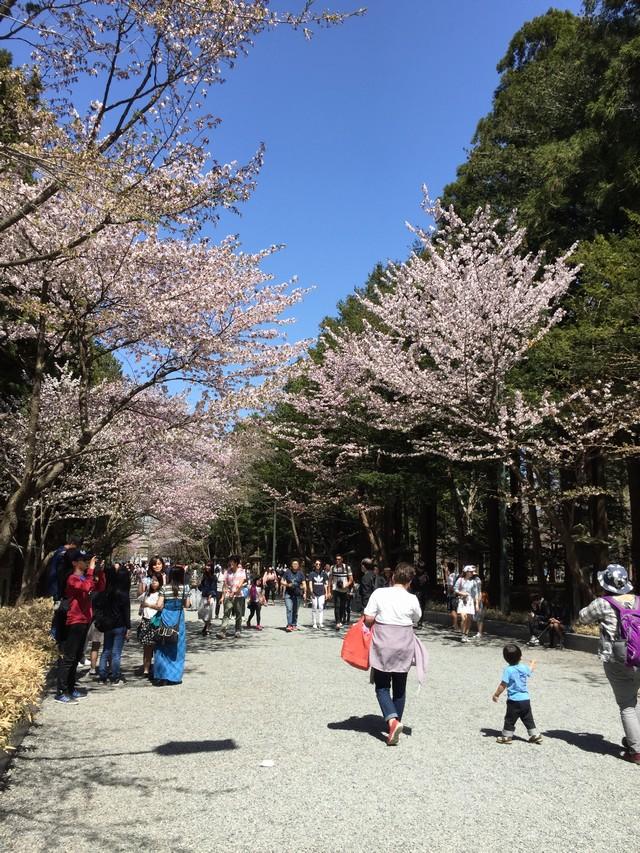 北海道神宮の桜道
