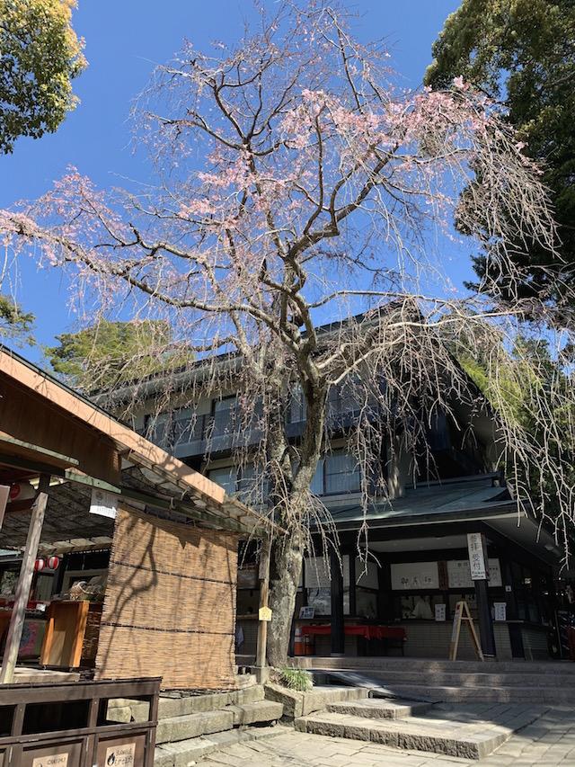 久能山の神宮入り口の桜